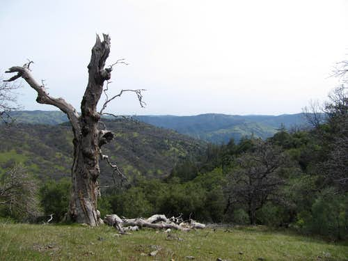 Dead oak above Arroyo Valle