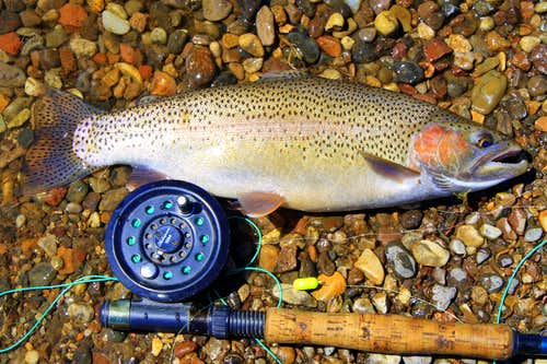 Fat Rainbow on the Fly Rod