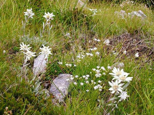 The alpine edelweiss are rare...