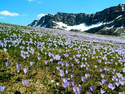 Crocus field below Lebršnik