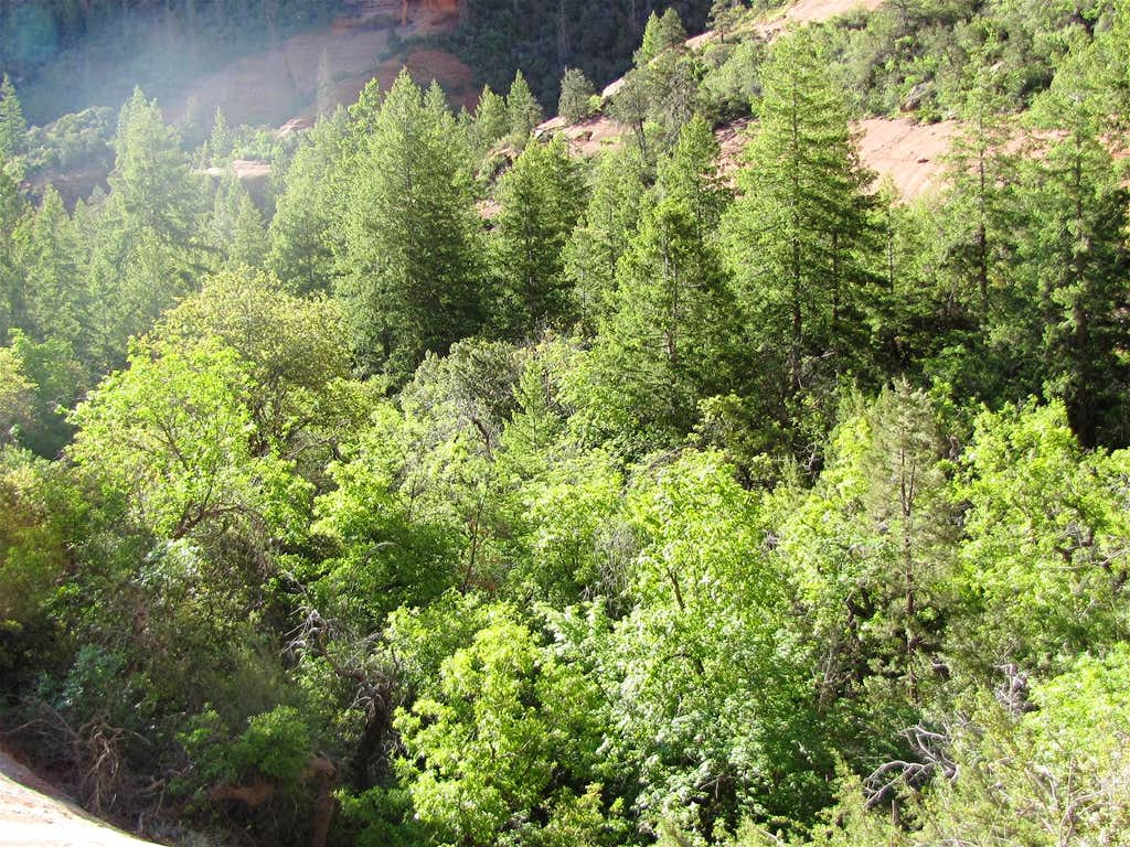 Forest on Canyon Floor