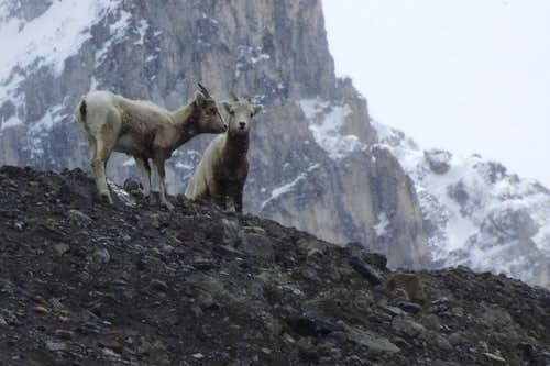 Mountain Goats near the Athabasca