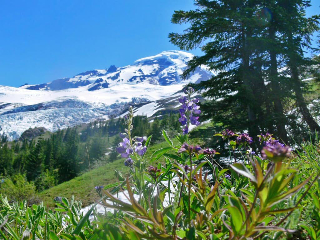 Mount Baker with Lupine Flowers