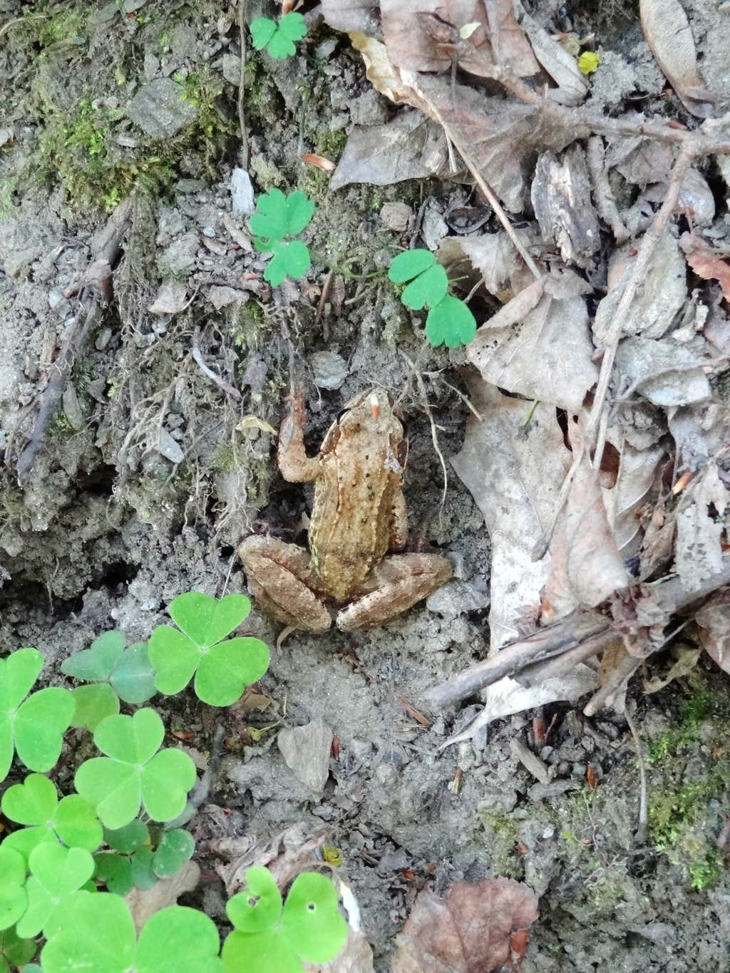 Little frog on the Thayatal trail