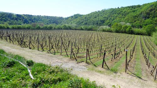 Šobes wineyards, over the Dyje gorges