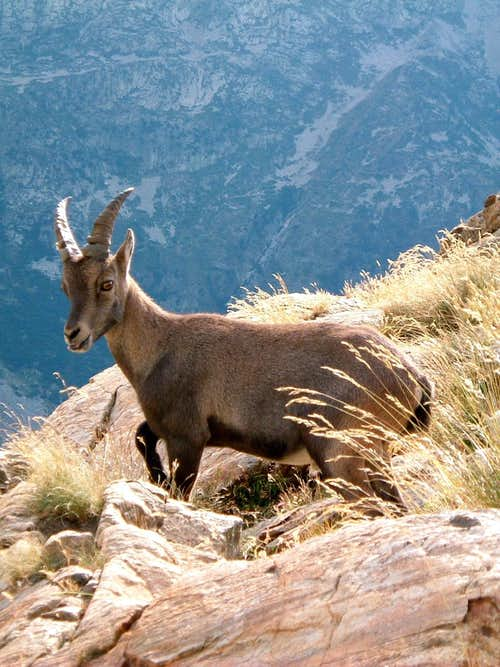 An Ibex kid in Maritime Alps