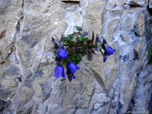 A flower springing out from the limestone (Campanula cochleariifolia)