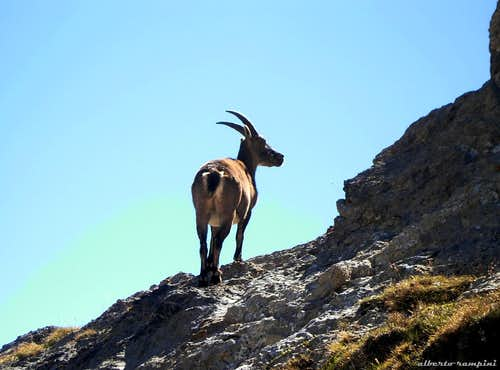 Surprising!!! An ibex on the summit!