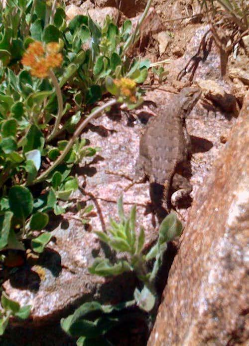 Lizard below the summit.