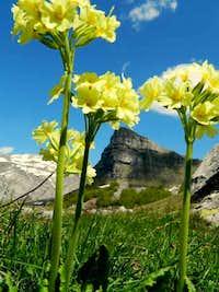Jaglac (Primula vulgaris)