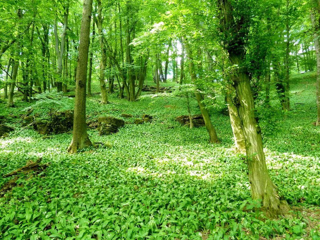 Forrest scenery with ramsons