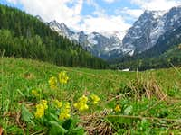 Primroses in Valley of Little Meadow