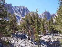 Bristlecones near Wheeler Peak