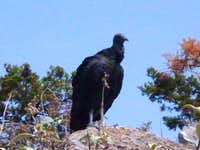 Black vulture at the summit.