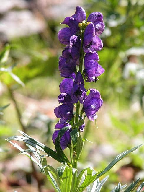 Monkshood on th enorthern...