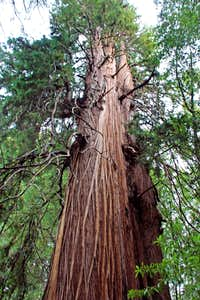 The noble California  redwoods