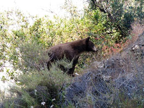 Azusa Hwy 39 Bear 2
