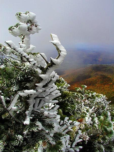 Rime ice on Spruce near...