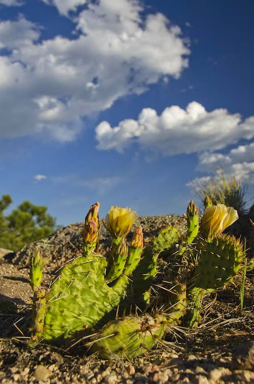 Plains Prickly Pear Cactus (Opuntia polyacantha)