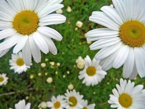 Daisy Flowers on Jumbo