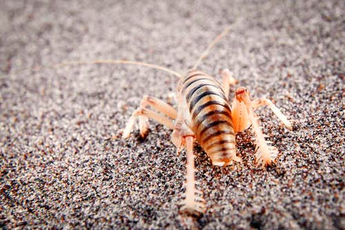 Giant Sand Treader Camel Cricket