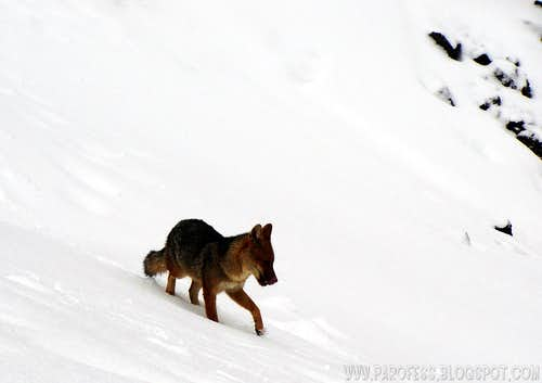 Wild andean fox on Cotopaxi