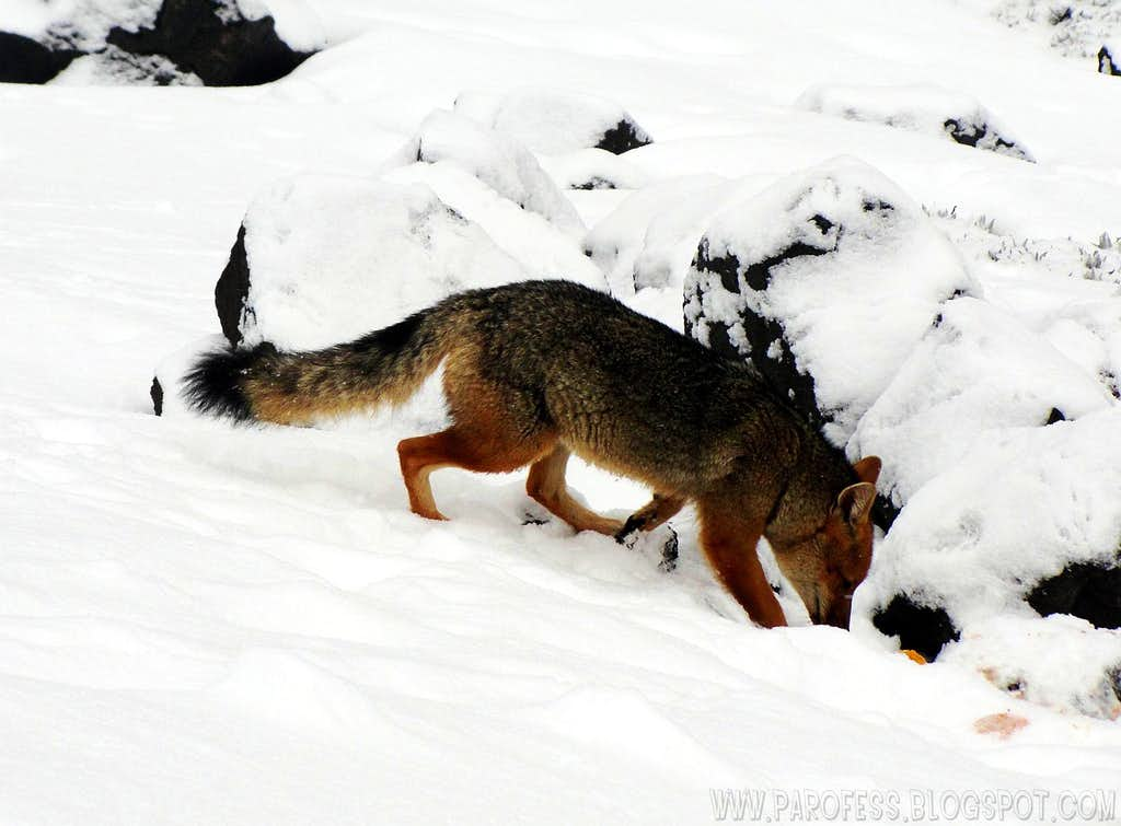 The andean wild fox of Cotopaxi