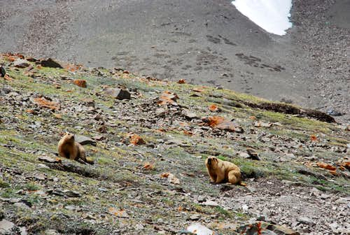 Marmots, on the way