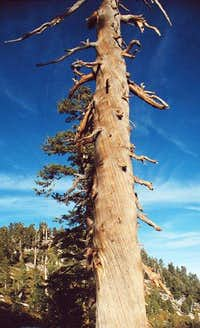 San Jacinto Tree,...