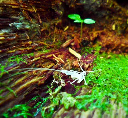 Albino Spider-Cricket?