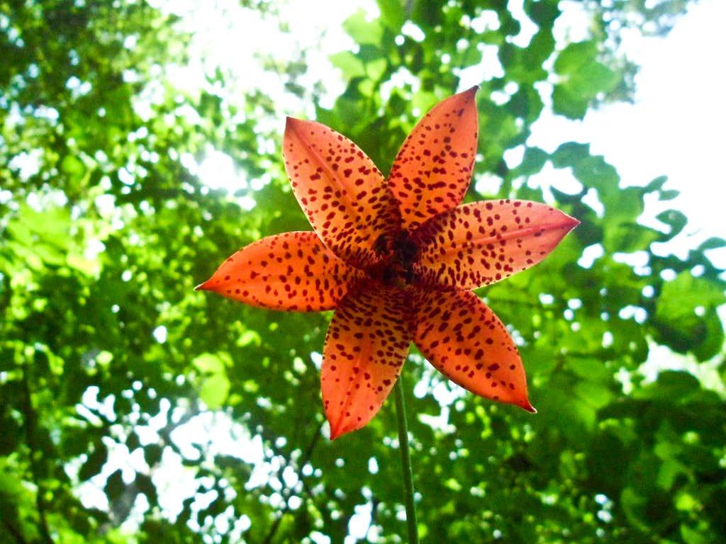 Appalachian Flower