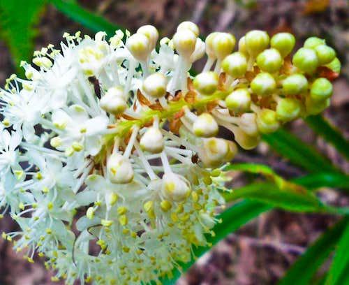 Appalachian Flora