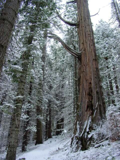 There are some huge Redwoods...