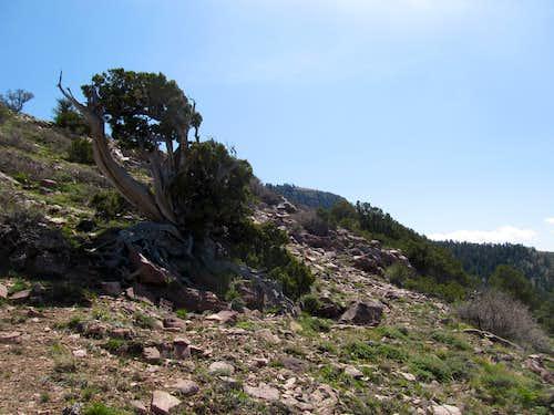 Pine along West Ridge
