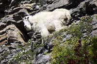 Robson Goat 2