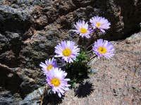 Alpine Daisy