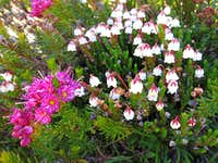 White and Red Mountain Heather