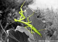 Praying Mantis cutout