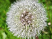 Dandelion up Close