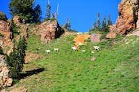 Mountain Goats.