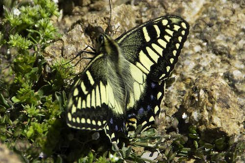 Papillo machaon