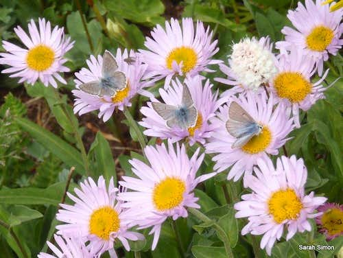 Purple Aster & Butterflies