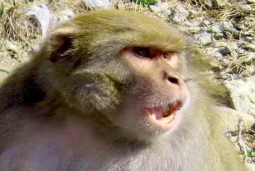 Angry Monkey Close-up