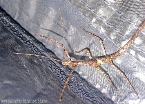 Walking stick insect <b><i>(Clonopsis gallica)</b></i>