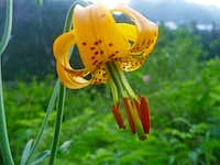 Tiger Lillie in the Valley