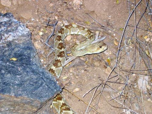 Rattlesnake in the canyon
