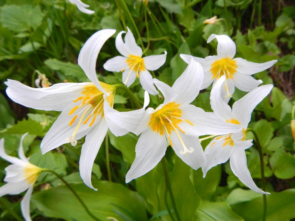 Avalanche Lillies