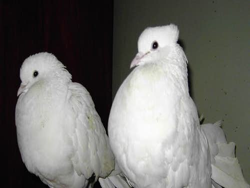 Couple of white Pigeon