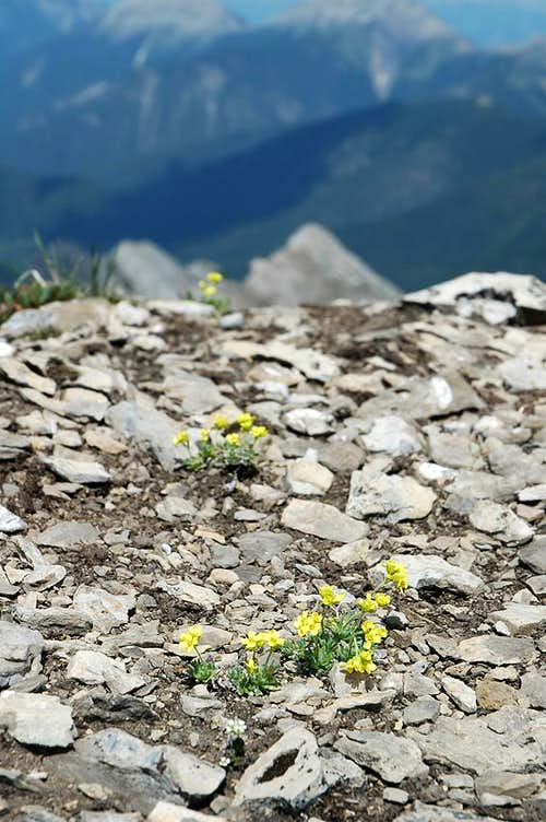 Yellowstone Draba on the Summit of Mount Aeneas