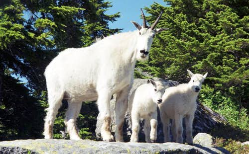 Mountain goats near the Eagle s Nest on Mt. Pilchuck